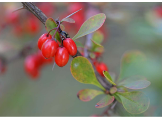 Berberine: Fight against diabetes and overweight with