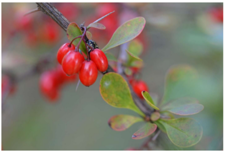 Berberine to effectively fight diabetes and overweight