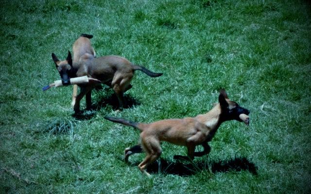 Avoir une grande cour pour qu'ils puissent courir partout comme des fous, c'est le must pour combler ses chiots