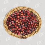 Fruits murs de café, panier