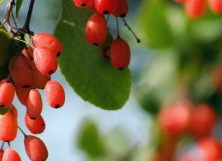 Berberina para combatir eficazmente la diabetes y el sobrepeso