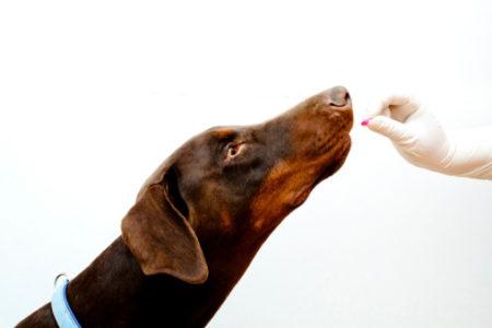 On doit aussi donner un vermifuge à la chienne 2 semaines avant la mise bas