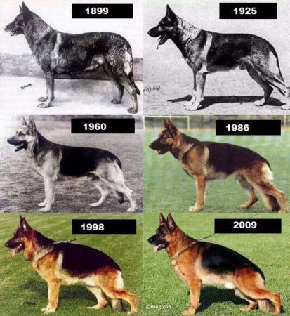 Voyez par vous-même les changements au niveau de la hanche du berger allemand