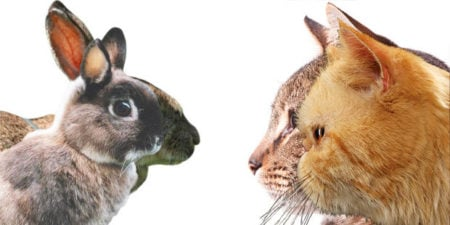 Comme le chat, le lapin subit lui aussi le phénomène d'hypertype