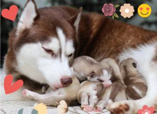 La mise bas chez la chienne : entre joie et angoisse