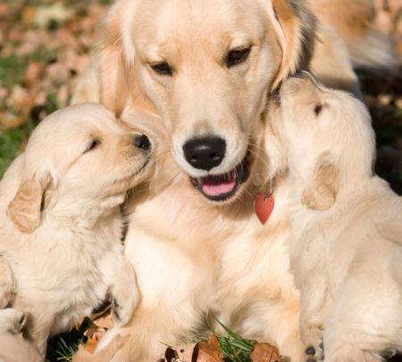 La chienne peut s'épanouir sans avoir des chiots, mais sa présence est cruciale dans leur éducation si elle en a