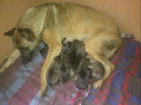 Miata, une autre chienne de garde SSSM dans sa caisse de mise bas confortable avec ses nouveau-nés