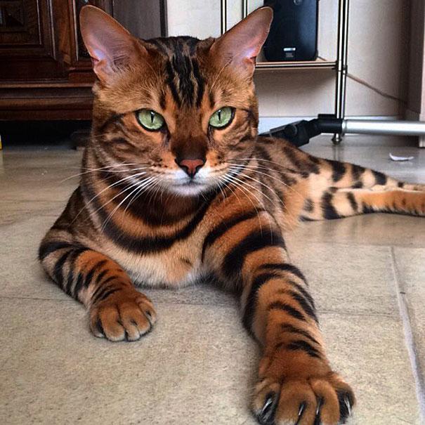 Terminons notre article sur l'origine et les races de chat avec la photo de Thor, l'un des plus beaux chats au monde. C'est un Bengal.