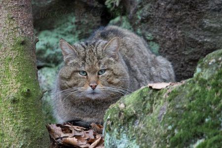 Le Felis Silvestris est l'ancêtre de nos chats domestiques. Ce chat est sans doute à l'origine des nombreuses races existantes de matous.