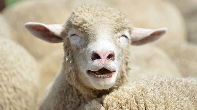 La viande de mouton est particulièrement contaminante