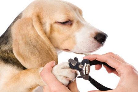 comme nous, l'hygiène du chien comprend une manucure
