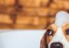 Hygiène du chien: la propreté, clé du bien-être canin