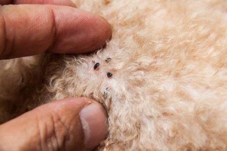 Les animaux domestiques sont des hôtes parfaits pour les parasites