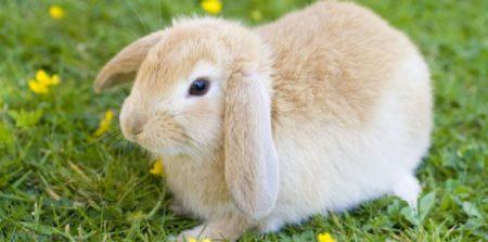 Le lapin est un NAC très populaire