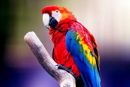 Le perroquet, le premier oiseau à devenir un NAC