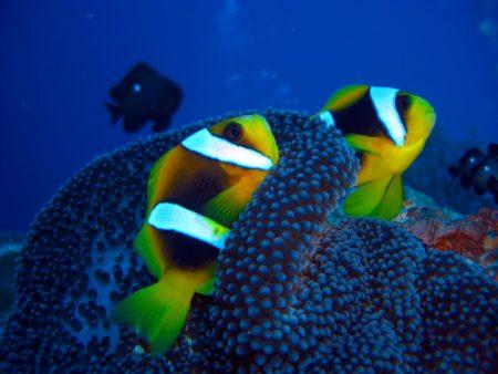 Le poisson-clown aux couleurs flashy