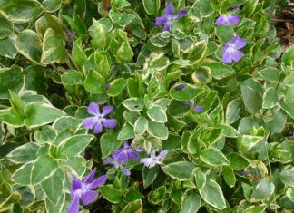 Les bienfaits de la pervenche, une plante miraculeuse