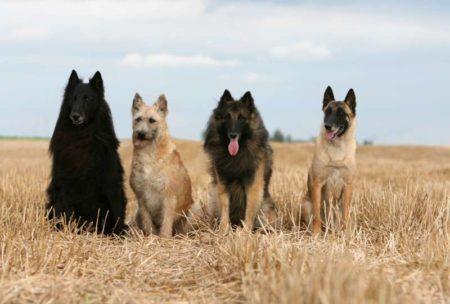 Les bergers, des chiens très protecteurs, dans notre liste de différentes races de chiens