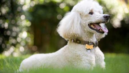 Le Caniche, l'exemple parfait pour dire qu'il y a différentes races de chiens