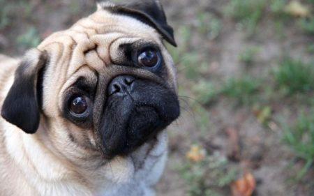 Pour moi, des différentes races de chiens, le Carlin est le plus mignon