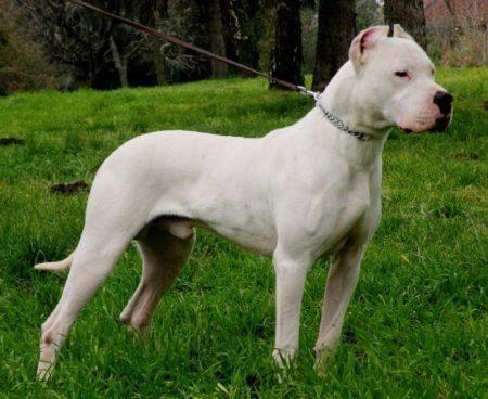 Le Dogue Argentin, très prisé parmi les différentes races de chiens