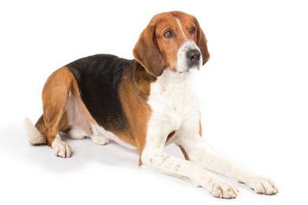 Des différentes races de chiens, le Foxhound est le plus apprécié chez les chasseurs anglais