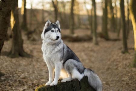 Il y a de nombreuses différentes races de chiens mais le Husky me laisse toujours sans voix