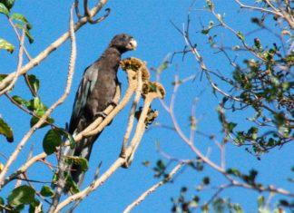 Le perroquet noir de Madagascar: apprenez à en prendre soin!