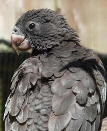 Le coracopsis vasa est un des perroquets noirs de Madagascar