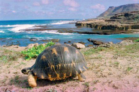 Le parc du cap Sainte-Marie abrite l'espèce de tortue de Madagascar: la tortue Radiata