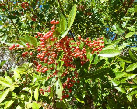 Le poivre, une des plus grandes productions à Madagascar