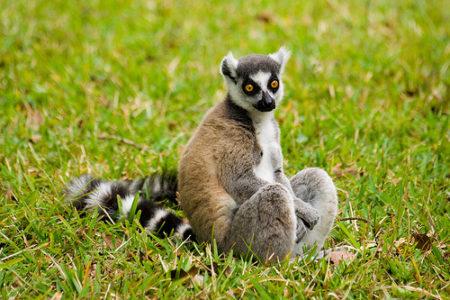 Le trafic d'espèces sauvages cible les lémuriens de Madagascar