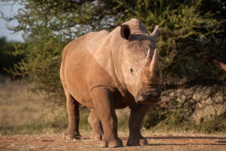 Les cornes du rhinocéros, et l'animal lui-même sont des victimes du trafic d'espèces sauvages