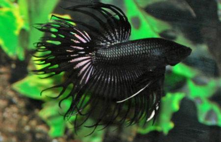 Le combattant crowntail noir est l'un des poissons préférés d'Anjana Ramanantoanina