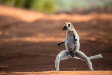 Le fameux lémurien danseur danserait mieux que moi:P
