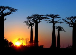 Le baobab à Madagascar : découvrez l'utilité de ce géant au quotidien