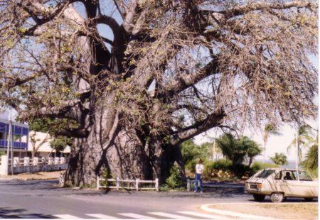 C'est le baobab le plus connu de tous