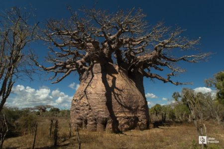Tsitakakantsa, le plus grand baobab de Madagascar. Copyright Lokobe Production
