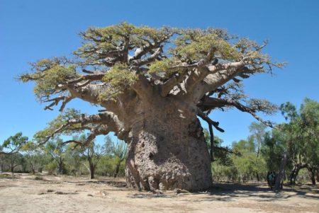 Le Tsitakakoike est le plus vieux baobab de Madagascar