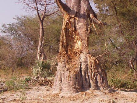 Rien ne se perd. Le baobab est utilisé dans la vie quotidienne