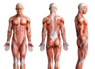 Quels sont les différents types de muscles ? Il y en a trois