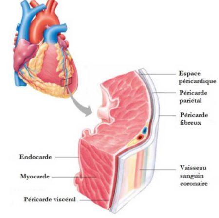 La myocarde est responsable du battement du cœur