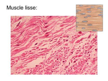 Les muscles lissent facilitent la digestion
