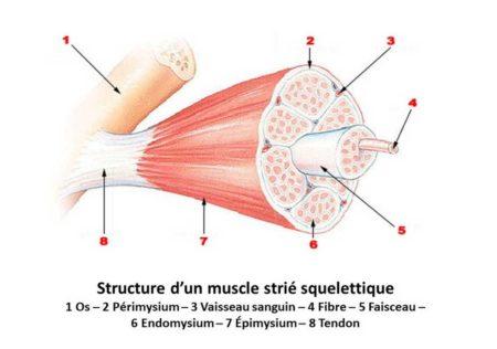 Les muscles squelettiques sont ceux qu'on développe lors de la musculation