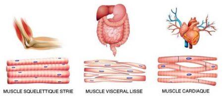 Nous avons plus de 600 muscles dans notre corps
