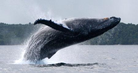 Le festival des baleines se passe chaque mois de juillet à Sainte Marie