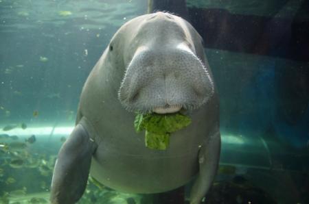 Les dugongs, des animaux rares menacés d'extinction