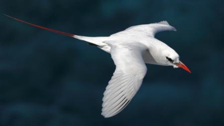 Le phaéton à queue rouge est un oiseau endémique de Nosy Ve