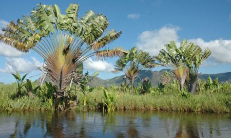 The  «Ravinala» is part of the endemic flora of Madagascar