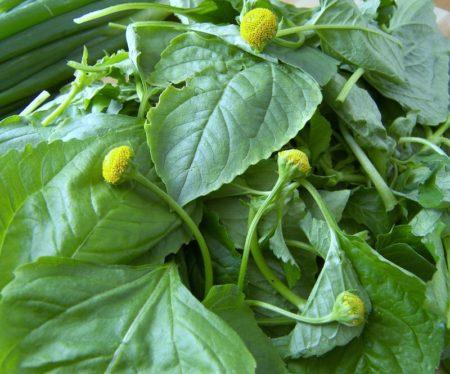 Ces brèdes mafana sont surtout utilisées pour préparer un bouillon de poisson sec et de pomme de terre